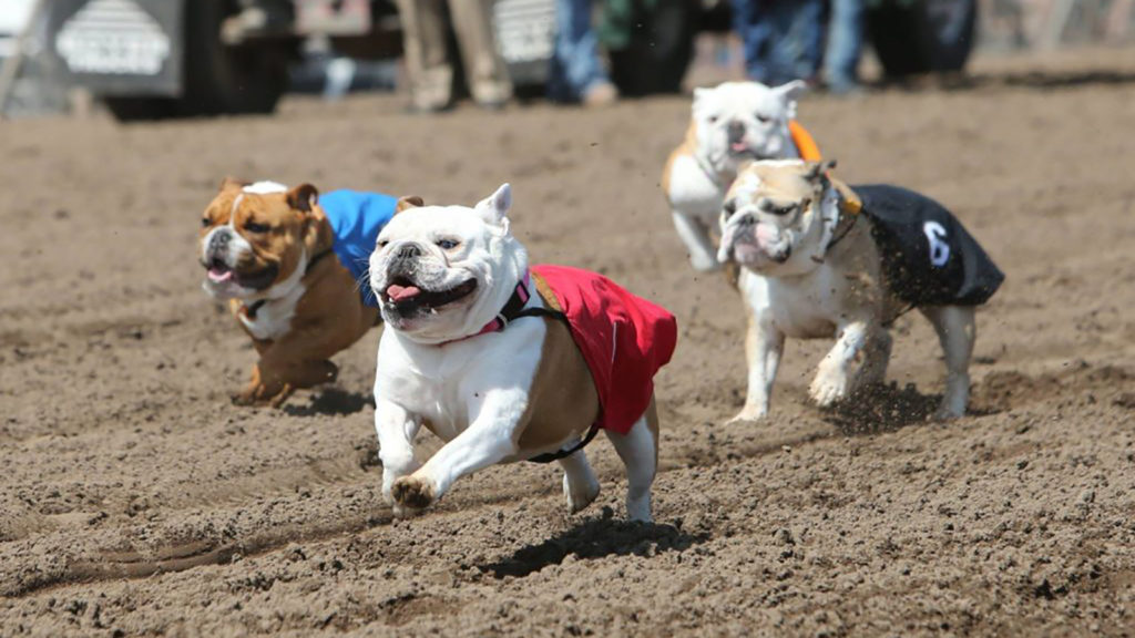 Running of the Bulldogs